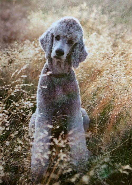 """Så 2016-10-14 föddes Ester Ester har en hög integritet. Hon ÄR klok som en pudel. Inte bara barnen känner sig trygga i hennes sällskap utan så gör även jag. Hon är tryggheten i vårt hus och våran diplomat – blir det gnäll och irritation kommer hon och medlar. Hon tänker innan hon gör något. Jag kan SE hur hon säger: """" Och varför vill du jag skall göra detta?"""" Om det finns hundar med högklackade skor så är det hon. Hon avskyr att bli våt om tassarna! Regnar det ute kan hon knipa länge för att slippa gå ut och bli våt Även om hon är en dam med klackar så är hon en helt annan hund när vi tränar agility. Hon blir överlycklig när hon Ser mig ta fram klickern – för då vet hon att vi skall träna in något nytt trix – vilket hon älskar! 2017 blev hon klar med sin utbildning"""