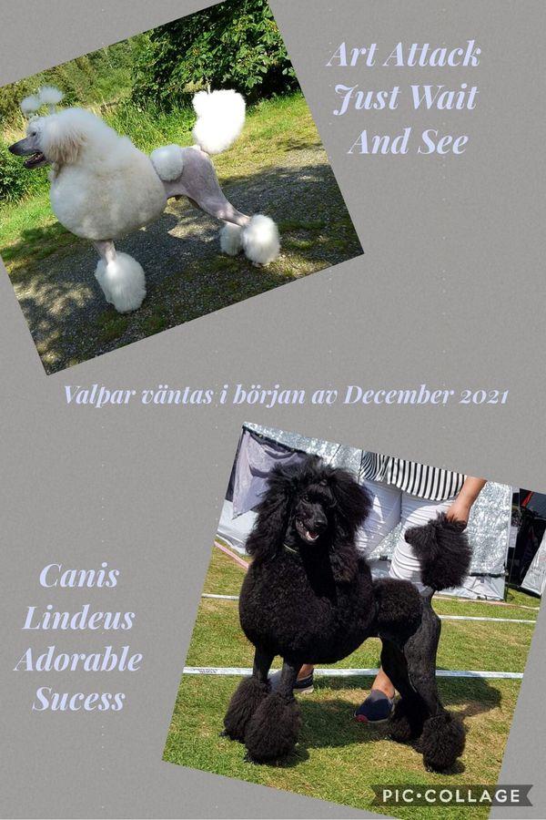 Canis Lindeus